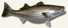 Trophy Striped Bass fiberglass reproduction by McGinnity Marine Art